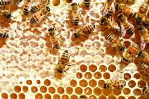 Kako čebele medu