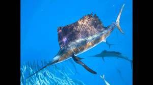Kakšna najhitrejša riba na svetu?