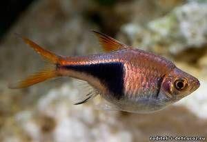 Blotnotnistaya sortiranje - akvarijske ribe