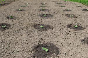 Kdaj in kako saditi bučke na sadikih - skrivnosti sajenja in skrbi