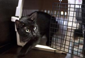 Kdaj in v kakšni starosti lahko steriliziraš mačko?