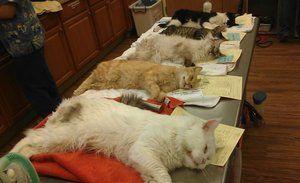 Kako se mačke sterilizirajo