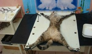 Sterilizacija mačk