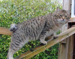 Cat pixibob: opis pasme, značilnosti oskrbe