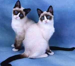 Cat snu shu: značilnosti pasme, vzdrževanja in nege