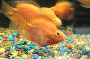 Lepa akvarijska ribica-papiga!