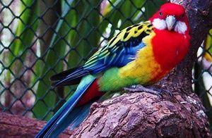 Kakšne vrste so papige rosella
