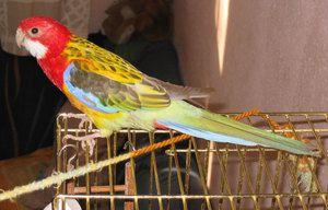 Parrot Rosella