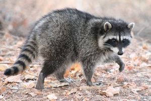 Na kratko o domačem rakunu: habitat, koliko živali živi