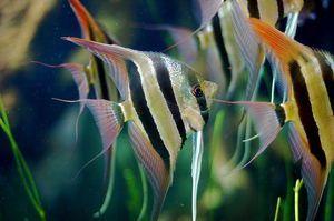 Ribe skalarja
