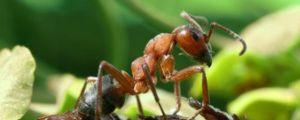 Kdo jede mravlje v naravi, kaj mravi jedo, svojo prehrano