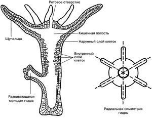 Črno polyp je drugo ime za sladkovodno hidro