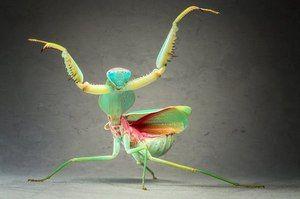 Kdo je navaden mantis ženski mantis
