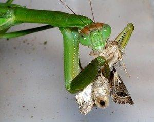 Prehrana ženskega mantisa