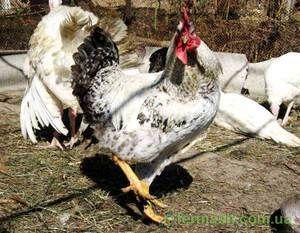 Chick Master Grey: podroben opis pasme