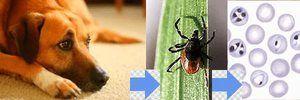 Zdravljenje piroplazmoze pri psih in simptomov bolezni