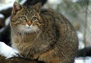 Življenjski slog divje mačke