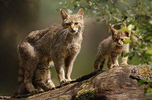 Življenjski slog divje evropske mačke