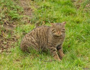 Habitat divje evropske gozdne mačke