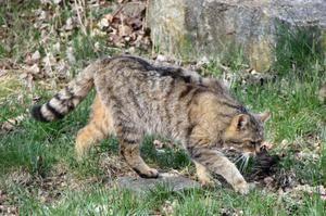 Lov divje evropske mačke