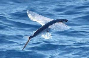 Nepameten ribji letak