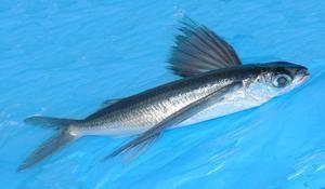 Leteče ribe v gibanju
