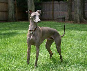 Leverette - italijanski pas za hojo