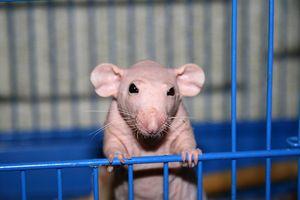 Ćelavna podgana Sfinga: skrivnosti hranjenja hišnega ljubljenčka