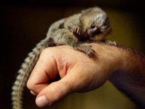 Marmoset - najmanjša opica