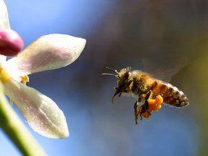 Čebele aktivno zbirajo cvetni prah poleti