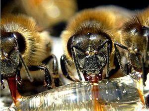 Kako čebele naredijo medu - kar ne vidimo