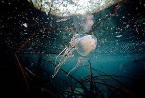 Kakšna je nevarnost strup morske miši?