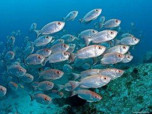 Morske vrste rib: opis in značilnosti
