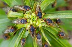 Insect cicada - kdo je to in njegov življenjski prostor
