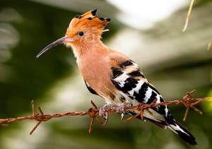Nenavadna, neverjetna ptičja hoopoe