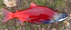 Nerka: kakšna je ta riba in kakšna je njegova uporaba
