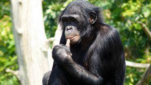 Monkey bonobo: značilnosti vrste šminkavih šimpanzov