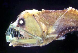 Prebivalci oceanskega dna, globokomorske ribe