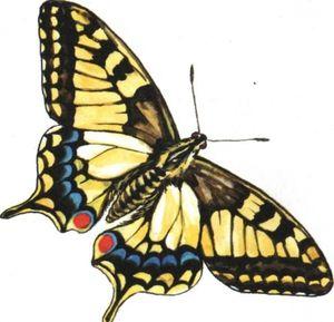 Način življenja in opis metuljčka metulja