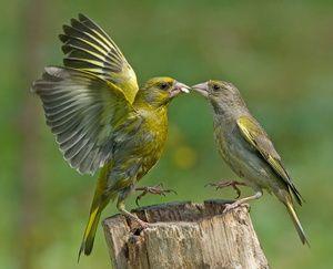 Navadna zelenica, ptičja zelenica, način življenja in razmnoževanje