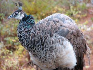 Ženska Peacock
