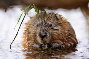 Ondatra ali mošusna podgana: opis, značilnost