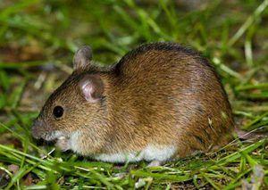 Nevarnost polja miši za pridelek. Metode za boj proti volovjem