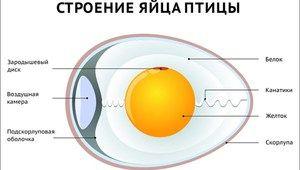 Opis in značilnosti strukture ptičjega jajca