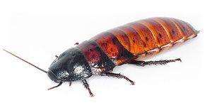 Opis Madagaskarja skačenje ščurki in njihove vsebine