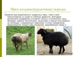 Opis mesnih pasem ovac v Rusiji