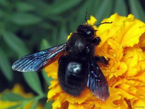 Opis tesarjevega čebela, vedenja