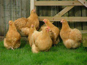Opis pasme piščancev orpington