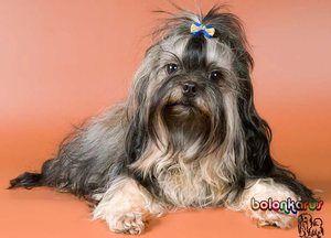 Opis pasme psov Ruski barvni lapdog