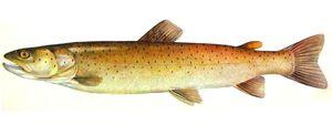 Opis rib v postrvi. Razlike med morjem in reko so raznolike